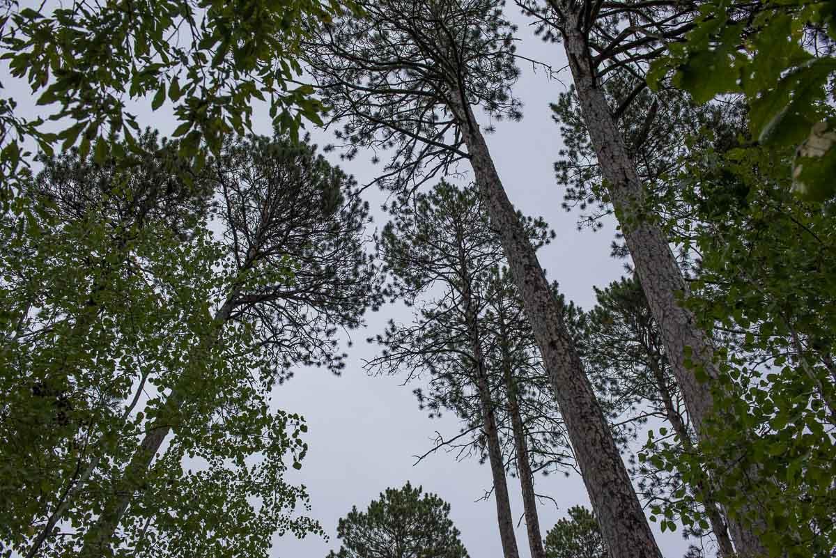 minnesota itasca wilderness trail white pines