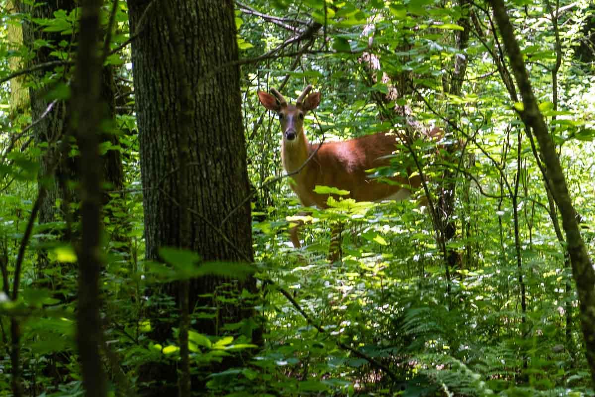 deer Nerstrand big woods